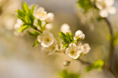 flowery spring plum tree with white flowers photo