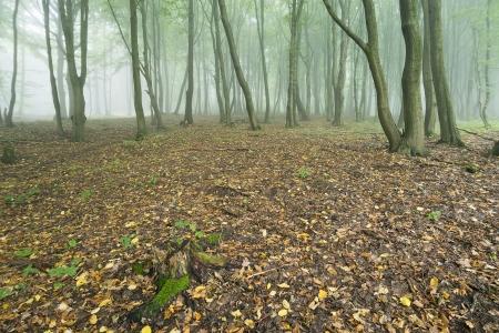 copse: beech forest shrouded in fog in autumn