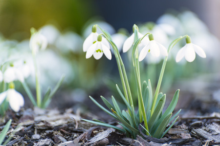 beautiful white snowdrops growing in spring garden photo