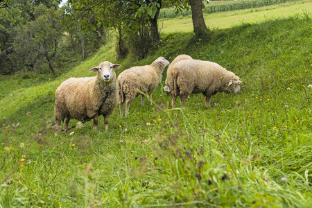 freely grazing herd of sheep on the grass photo