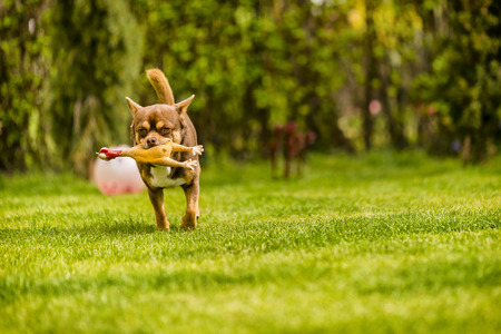small dog: Chihuahua, which is played on the grass with his toy Stock Photo