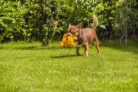 played: Chihuahua, which is played on the grass with his toy Stock Photo