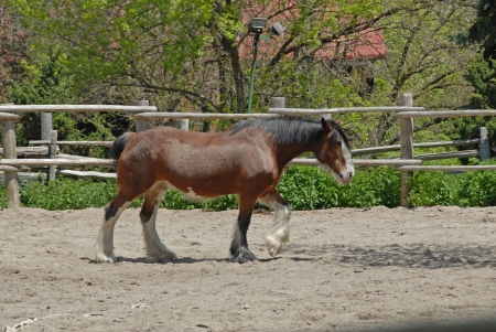 clydesdale: work horse, Riverdale Farm, Toronto, 2009
