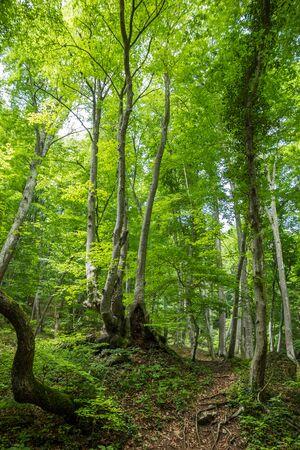 森林クリミア半島サニーグリーンツリー夏の風景の背景の歩道