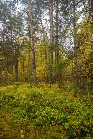 Yellow Green Autumn Forest Backdrop Karelia Russia Grass and Trees Background