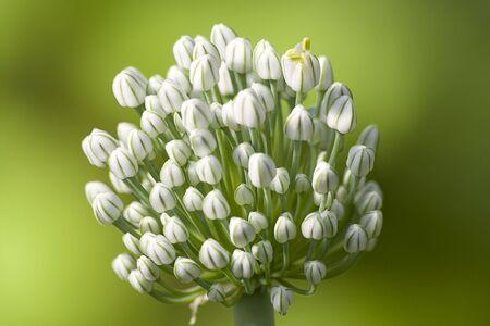 Flower of an onions (Àllium)