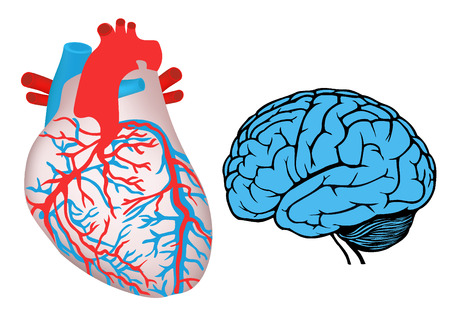 human heart and brain  Vector