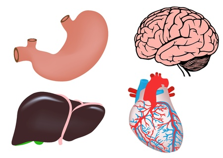 liver organ: Human organs Illustration