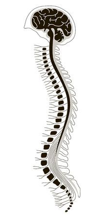colonna vertebrale: illustrazione vettoriale di brian umano con il midollo spinale Vettoriali