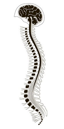 vector illustration of human brian with spinal cord Vector