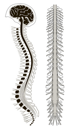 cns: vector illustration of human brian with spinal cord