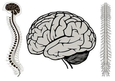 척수: 척수, 인간의 브라이언 인간의 브라이언의 벡터 일러스트 레이 션 일러스트