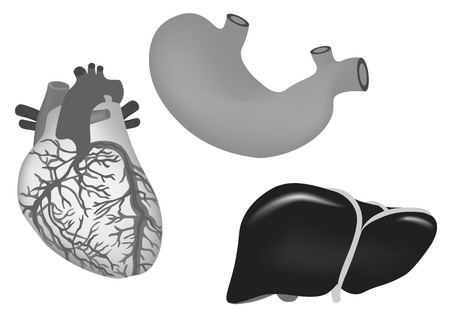 vector illustration of human heart, stomach, liver 일러스트