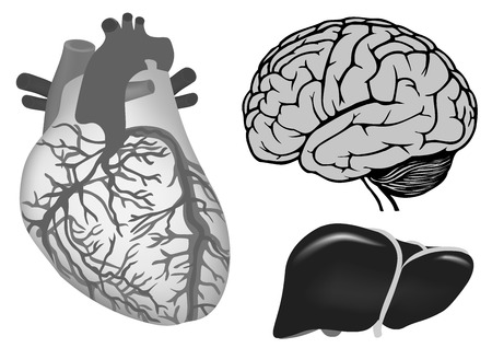 vector illustration of human brian, human heart, liver