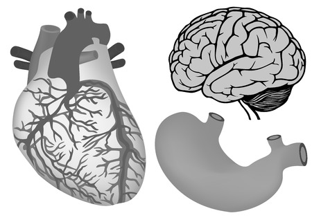 cns: vector illustration of  human heart, stomach, human brian Illustration