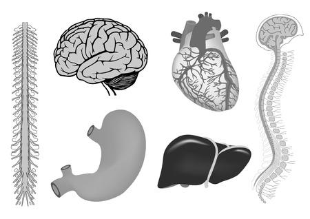 vector illustratie van de menselijke brian met ruggenmerg, menselijk brian, menselijk hart, lever, maag