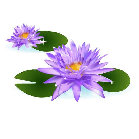 lirio de agua: lirio de agua de flor tailandés