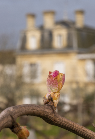 Vineyard, New growth budding out from grapevine, Bordeaux , France