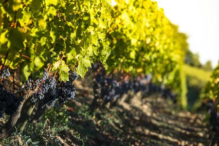 Cerca de uvas negras rojas en un viñedo, concepto de cosecha de uva, viñedo de Burdeos Foto de archivo