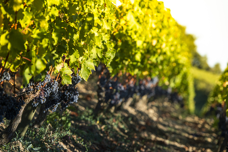 Close-up op rode zwarte druiven in een wijngaard, druivenoogstconcept, Bordeaux Vineyard Stockfoto