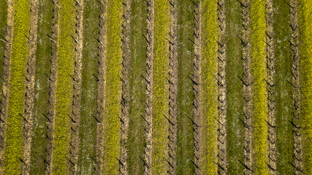 Aerial view of square of vines in early spring, filmed by drone, Bordeaux Vineyard, France 스톡 콘텐츠