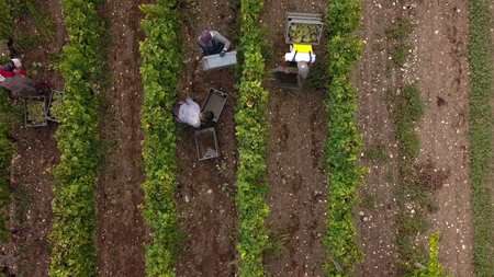 Aerial view of manual harvest in south ouf france Reklamní fotografie