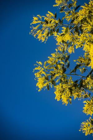 Branch of mimosa tree with flowers, France Reklamní fotografie