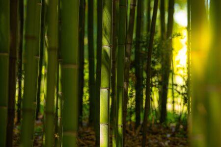 Piantagione di bambù, fondo di struttura del recinto di bambù verde, struttura di bambù