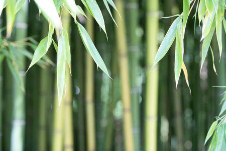 Plantacja bambusa, zielony bambus płot tekstura tło, bambus tekstury, Akwitania, Francja
