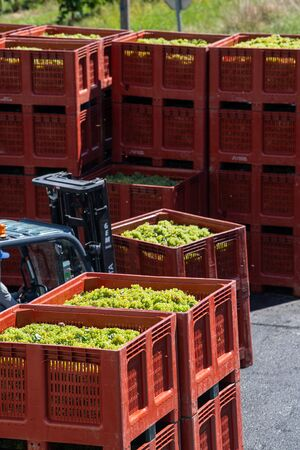 RECEPTION IN INDUSTRIAL CELLAR OF THE HARVESTING OF WHITE GRAPES FOR THE CREATION OF CREMANT, GIRONDE, AQUITAINE, FRANCE