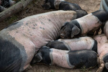 Newborn basque piglets suck the breasts of his mother, France, Europe