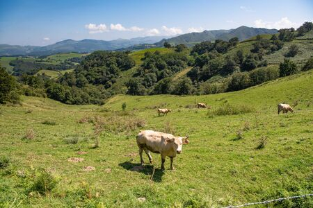 Happy cute brown cows enjoying in basque mountains, basque country, france Stockfoto
