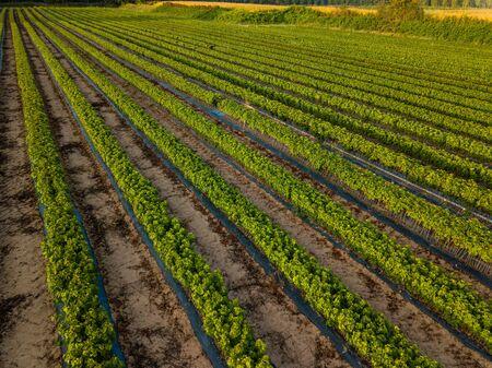Cultivation of vines, nurseries, field, plantation, Bordeaux Vineyard, France
