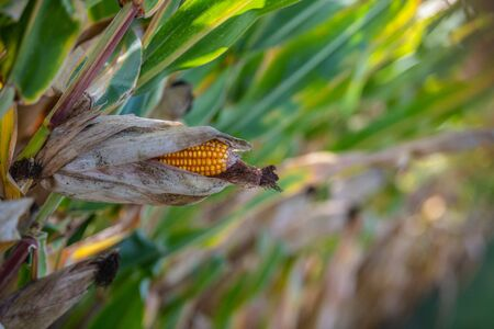 Corn cob with green leaves growth in agriculture field outdoor, France