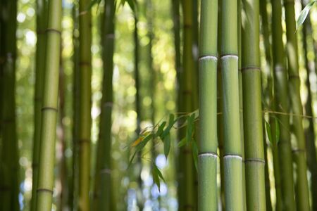 Bamboo plantation, Green bamboo fence texture background, bamboo texture, Aquitaine, France