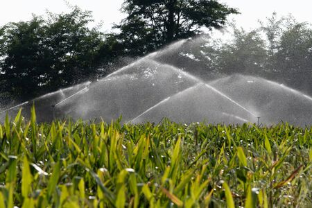 Système d'irrigation arrosage jeune champ de maïs vert dans le jardin agricole par water springer