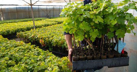 Cultivation of vines under glasshouse, nurseries, greenhouse plantation, Bordeaux Vineyard, France