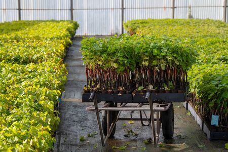 Cultivation of vines under glasshouse, nurseries, greenhouse plantation, Bordeaux Vineyard, France