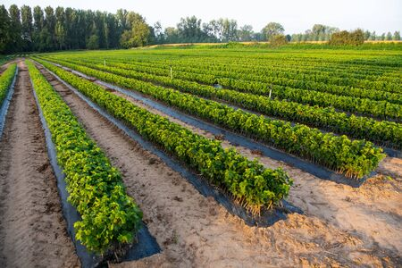 Cultivation of vines, nurseries, field, plantation, Bordeaux Vineyard, France