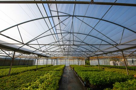 Cultivation of vines under glasshouse, nurseries, greenhouse plantation, Bordeaux Vineyard