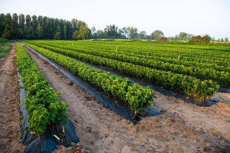 Cultivation of vines, nurseries, field, plantation, Bordeaux Vineyard Foto de archivo