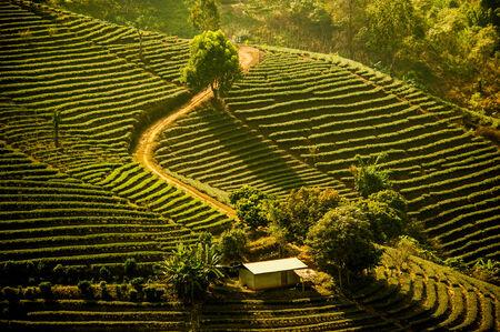 Tea field on the hill photo