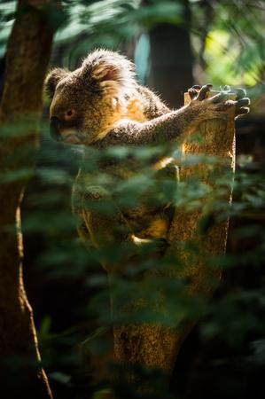 Koala on Tree photo