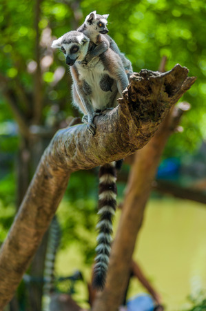 Lemur Catta and her cub photo