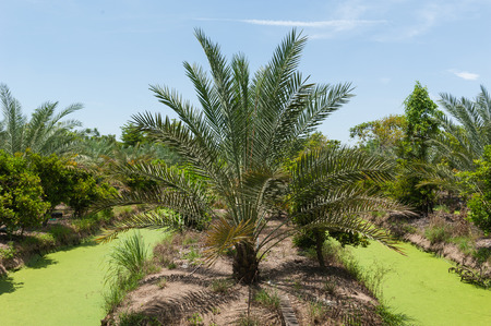 kibbutz: Date palm tree in the garden