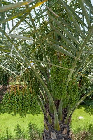 date palm tree: Date palm tree in the garden