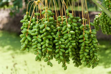 dactylifera: Date palm tree in the garden