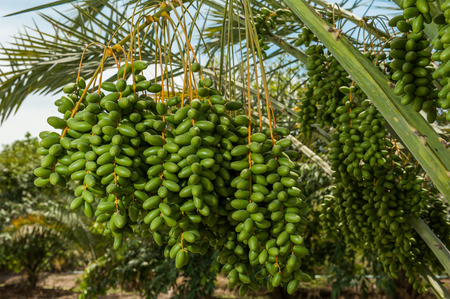 date palm: Date palm tree in the garden