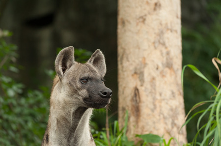 hyena: Hyena watching the tourist Stock Photo