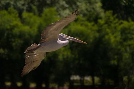 billed: Spot-billed pelican flying